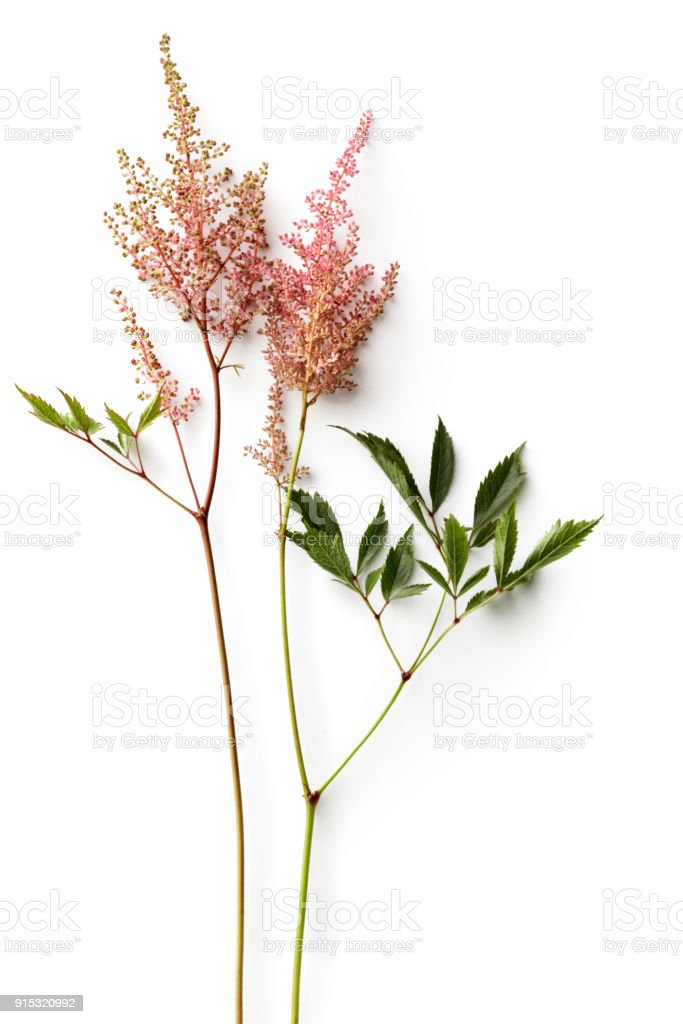 Flowers: Astilbe Isolated on White Background stock photo