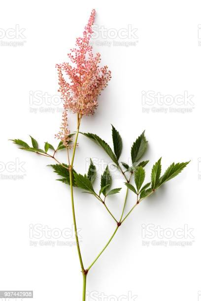 Flowers astilbe isolated on white background picture id937442938?b=1&k=6&m=937442938&s=612x612&h=crxp rgancvbpxl9gpat8wjbzhwnk5  bnunlr6xe80=