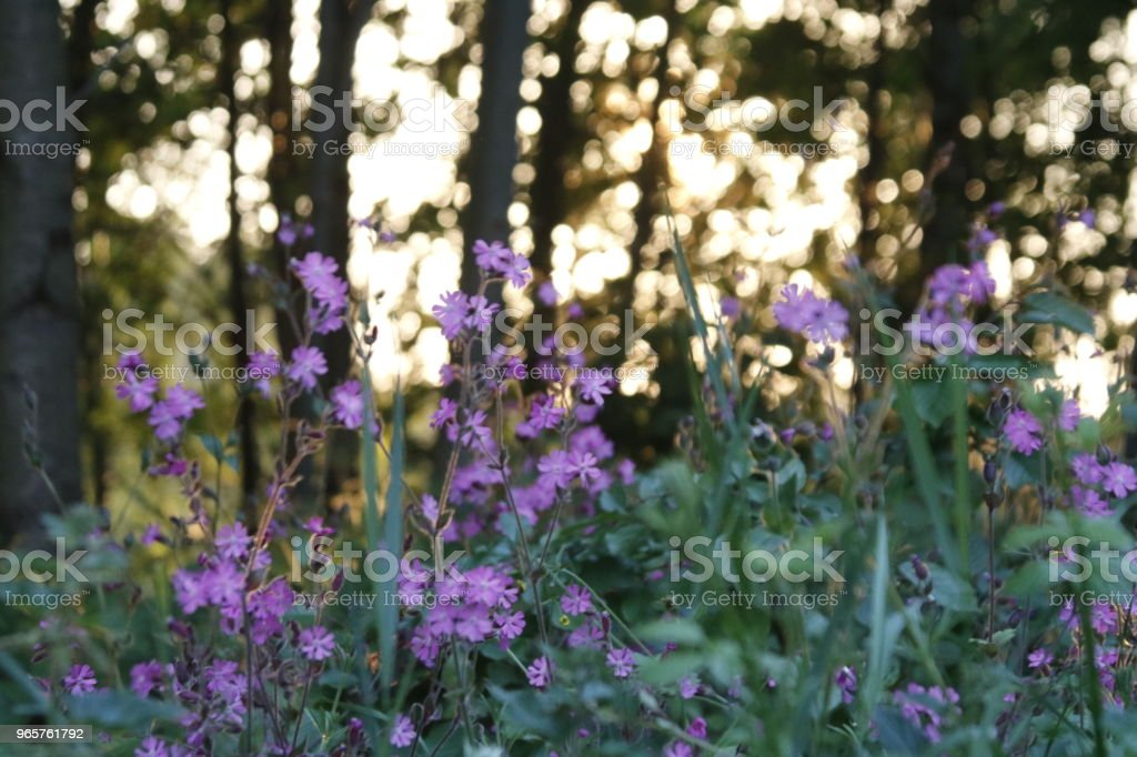 Flowers at sunset - Royalty-free Agricultural Field Stock Photo
