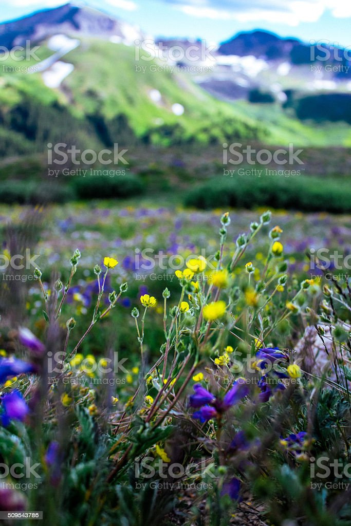 Flowers at the top of the Rocky Mountains stock photo