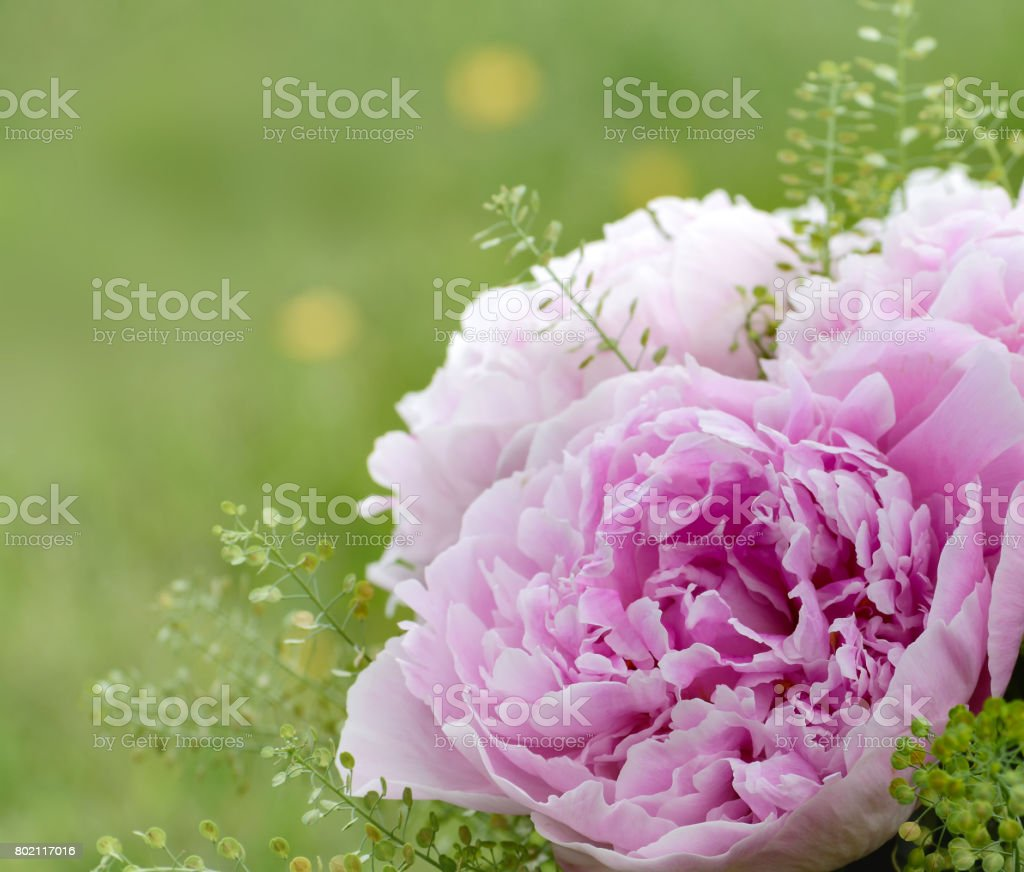 Flowers Background Beautiful Pink Peonies Stock Photo More
