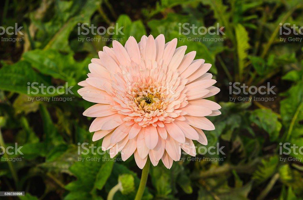 Fondo de flores gerbera flower. foto de stock libre de derechos