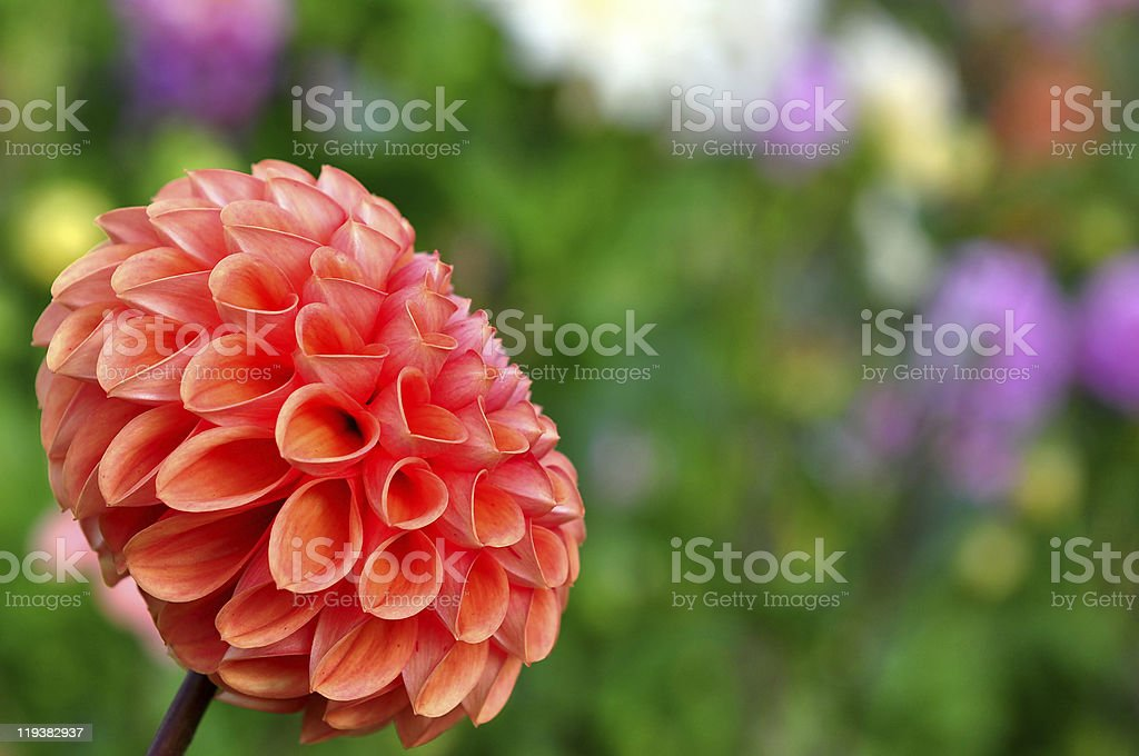 flowers bed with dahlia flower royalty-free stock photo