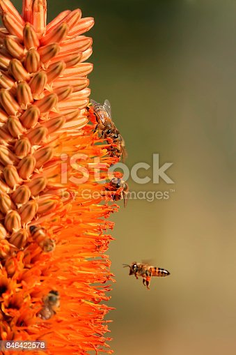 istock Flowers bees pollination honey blossom lily nature garden wildlife safari 846422578