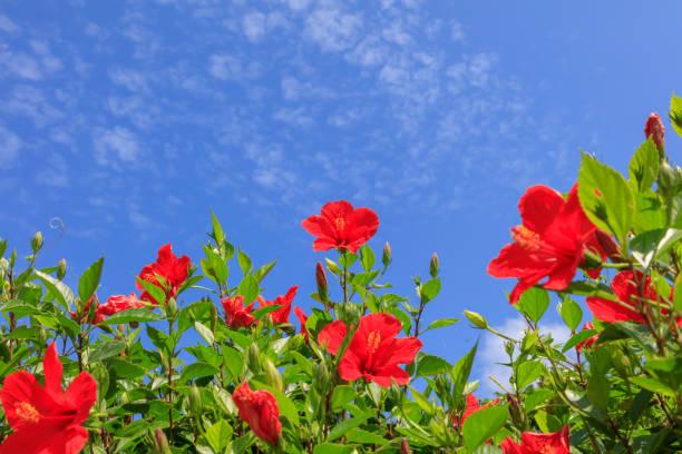 Blumen blühen auf Ishigaki Island im Herbst - Hibiskus – Foto
