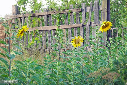 Flowers blooming sunflowers near a wooden fence