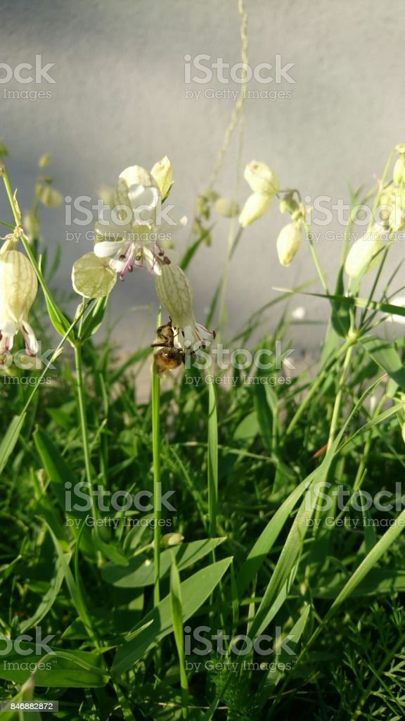 Flowers blossoms similar to bells. Bee picking pollen from its. stock photo
