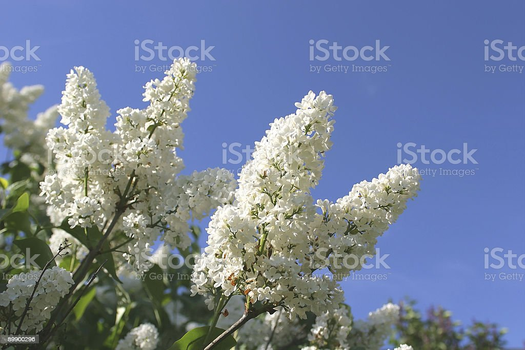 Flowers, Branch Lilac royalty-free stock photo