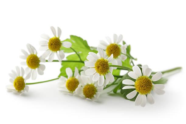 flores : manzanilla aislado sobre fondo blanco - planta de manzanilla fotografías e imágenes de stock