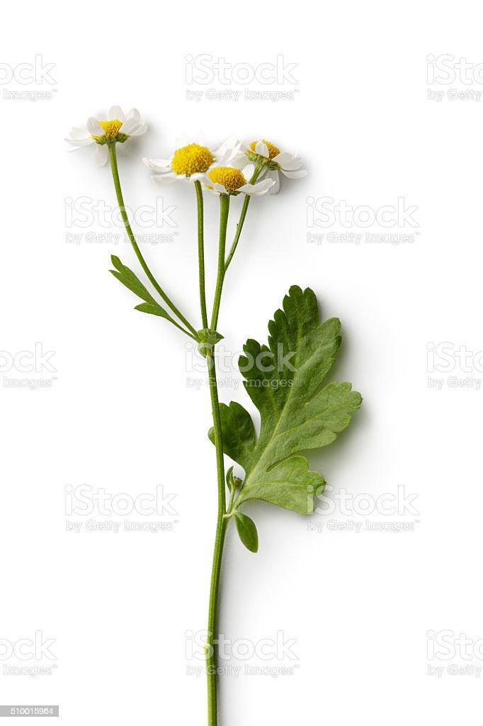 Blumen Kamille Isoliert Auf Weißer Hintergrund Stock-Fotografie und ...