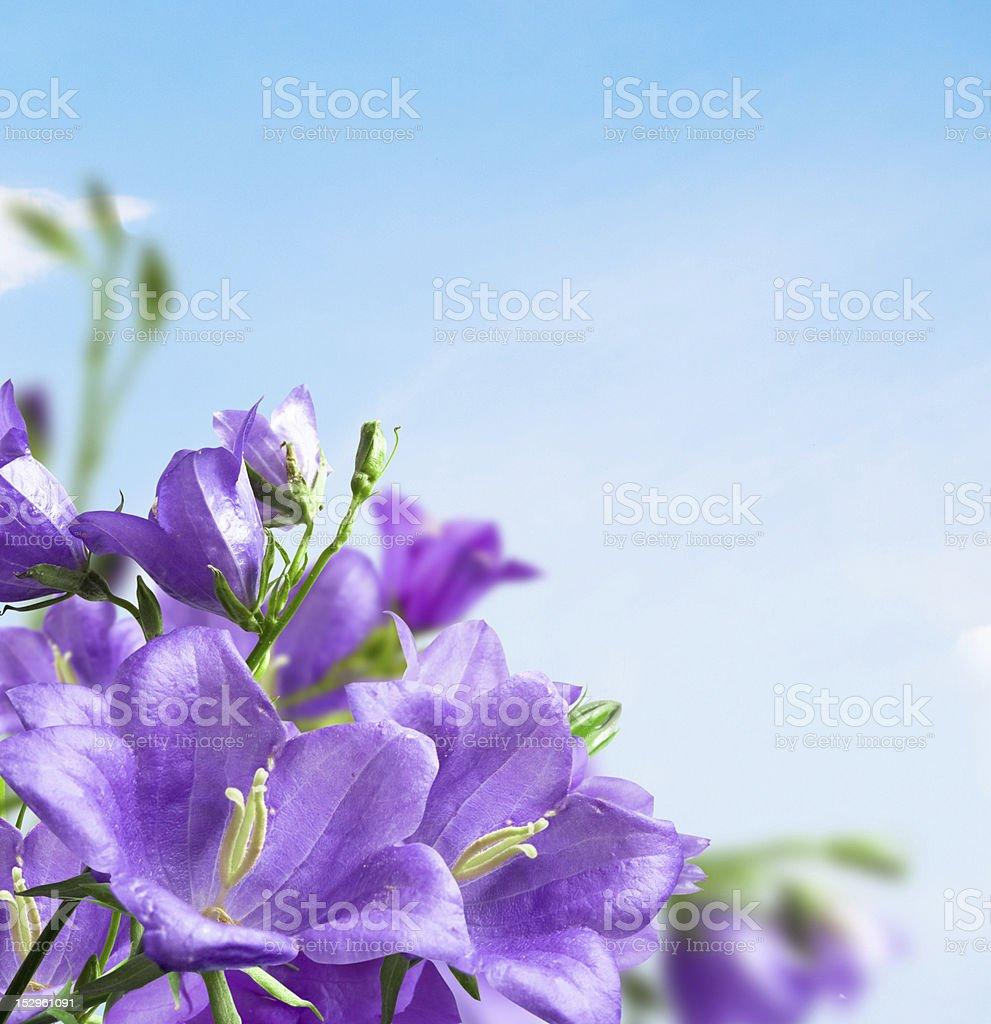 Flowers campanula royalty-free stock photo