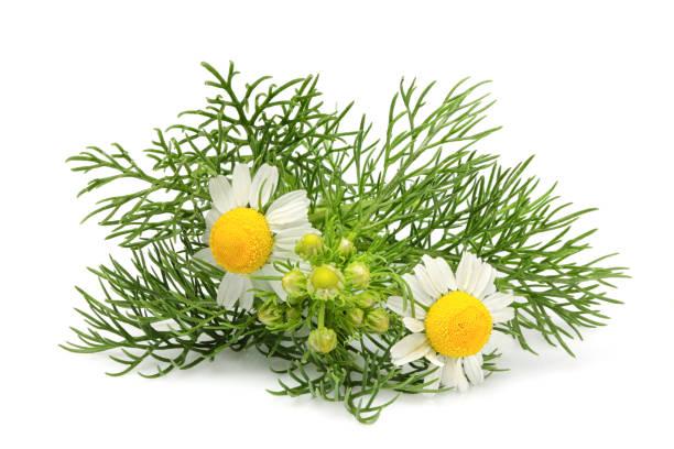 chamomiles flores, matricaria aislado - planta de manzanilla fotografías e imágenes de stock