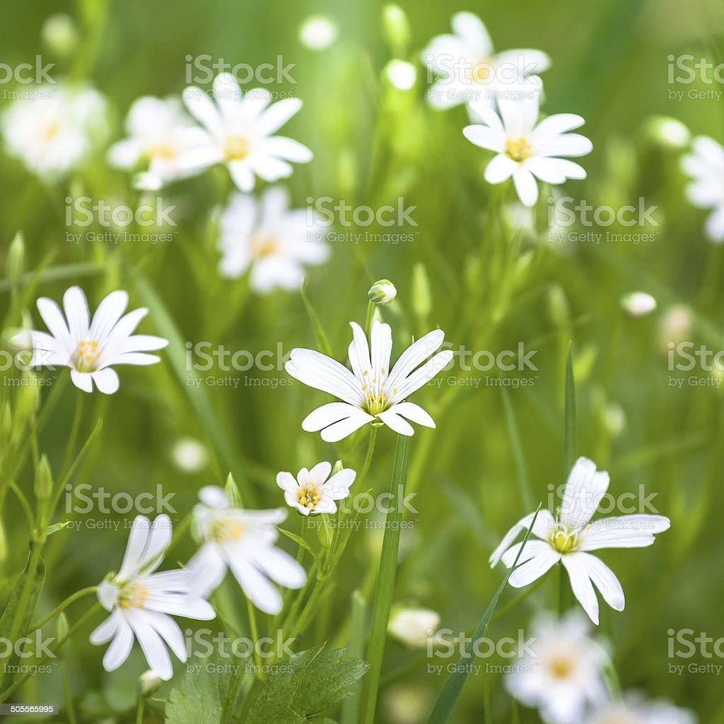 flowers chickweed stock photo
