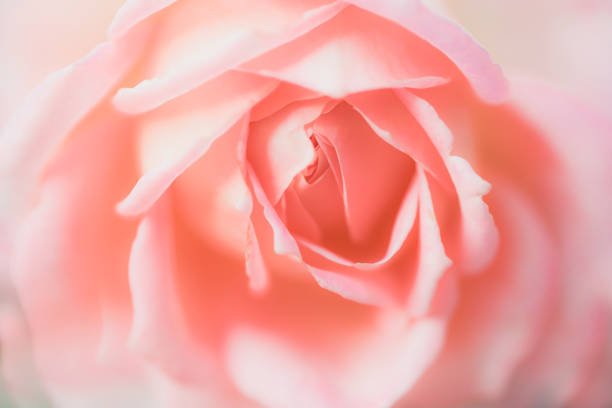 Flowers closeup pink rose picture id1203934421?b=1&k=6&m=1203934421&s=612x612&w=0&h= 40iz9h9hpmd  dpgrgo2jtw8e4eesd1oytdtdyfztq=
