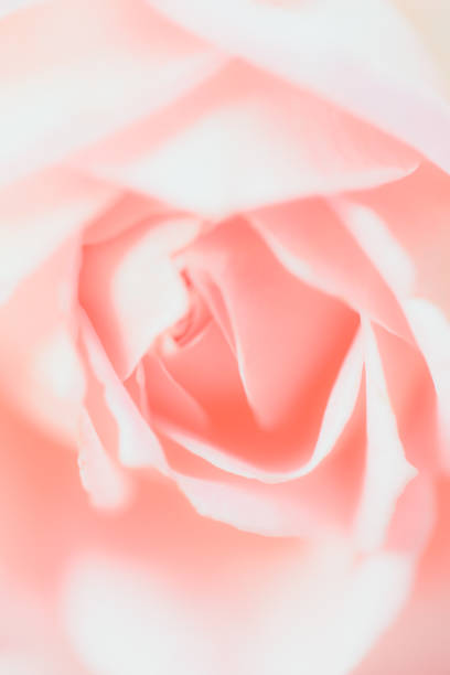 Flowers closeup pink rose picture id1203934576?b=1&k=6&m=1203934576&s=612x612&w=0&h=d0xviwyqjvs2oy92cvjwq4 jtnjl89hpp5za8nimnss=
