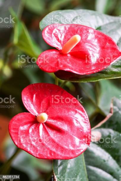 Flores De Color Rojo Rosas Y Amarillo Foto De Stock Y Más Banco De Imágenes De Arte Istock