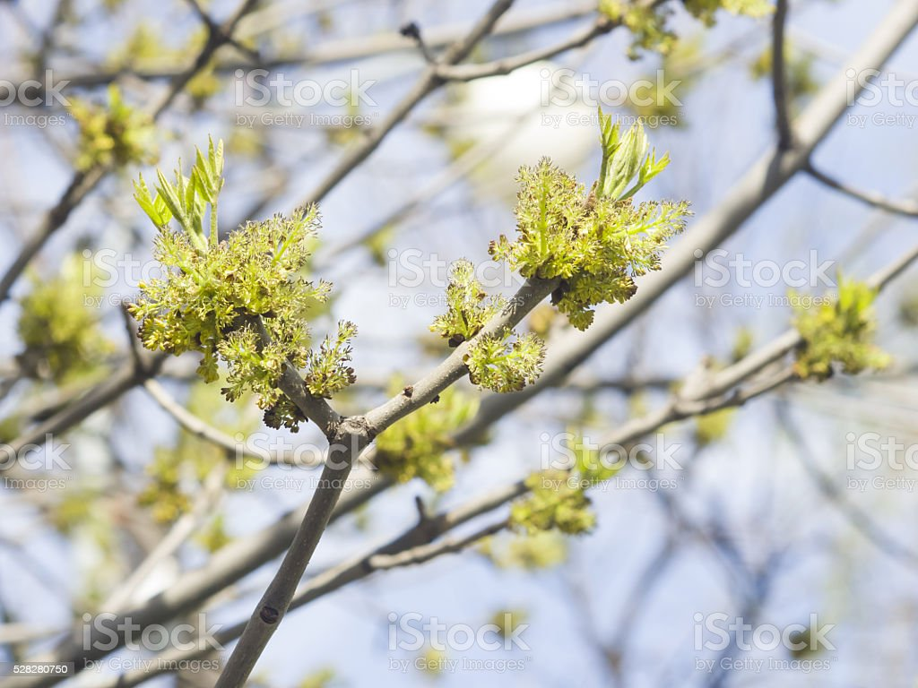 Flowers Common Ash, Fraxinus, excelsior, on branch with bokeh background stock photo