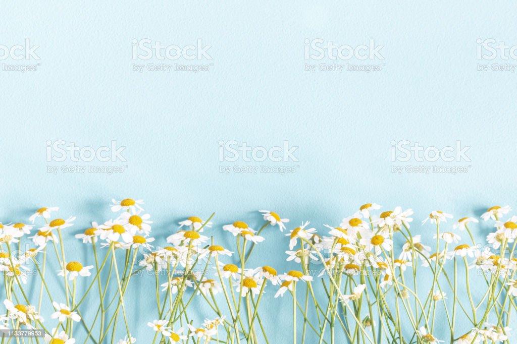 Bloemen samenstelling. Kamille bloemen op pastel blauwe achtergrond. Lente, zomer concept. Platte lay, bovenaanzicht, kopieerruimte - Royalty-free Alternatieve geneeswijzen Stockfoto