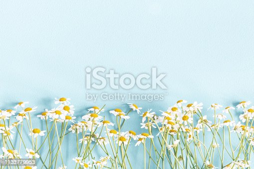 Flowers composition. Chamomile flowers on pastel blue background. Spring, summer concept. Flat lay, top view, copy space