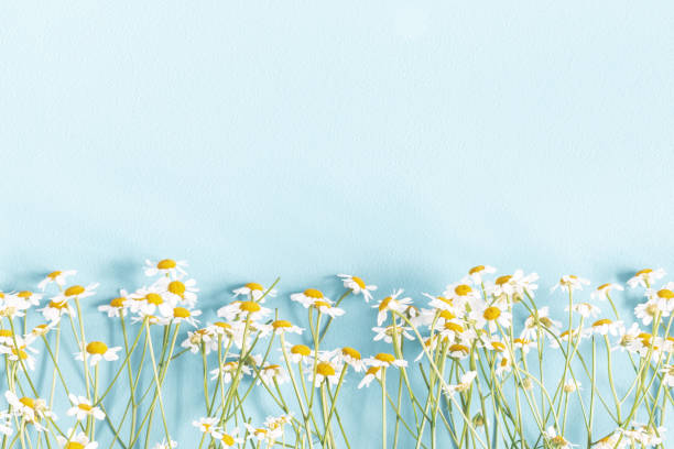 Flowers composition. Chamomile flowers on pastel blue background. Spring, summer concept. Flat lay, top view, copy space Flowers composition. Chamomile flowers on pastel blue background. Spring, summer concept. Flat lay, top view, copy space springtime stock pictures, royalty-free photos & images