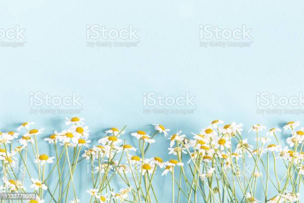Photo of Flowers composition. Chamomile flowers on pastel blue background. Spring, summer concept. Flat lay, top view, copy space