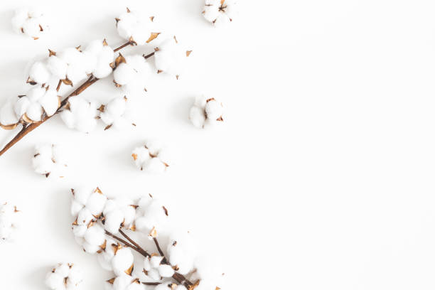 Flowers composition. Cotton flowers on white background. Flat lay, top view, copy space Flowers composition. Cotton flowers on white background. Flat lay, top view, copy space cotton stock pictures, royalty-free photos & images