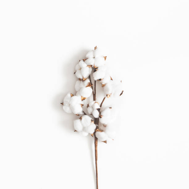 Flowers composition. Cotton flowers on white background. Flat lay, top view, square Flowers composition. Cotton flowers on white background. Flat lay, top view, square cotton stock pictures, royalty-free photos & images