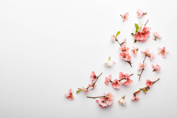 Flowers composition. Frame made of branches of Japanese quince on white background. stock photo