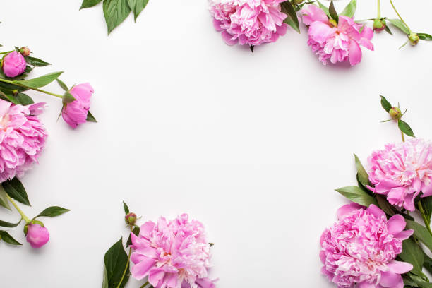 Flowers composition. Frame made of pink peony flowers on white background. stock photo
