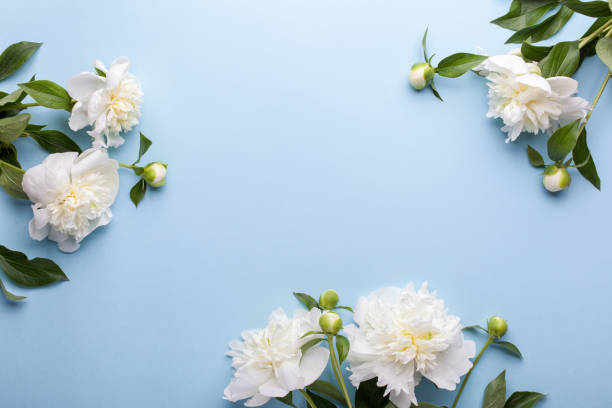 Flowers composition. Frame made of white peony flowers on blue background. stock photo