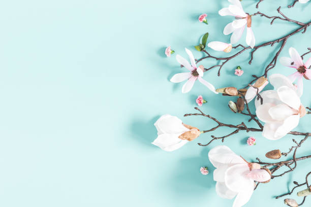 Flowers composition. Magnolia flowers on pastel blue background. Flat lay, top view, copy space Flowers composition. Magnolia flowers on pastel blue background. Flat lay, top view, copy space springtime stock pictures, royalty-free photos & images