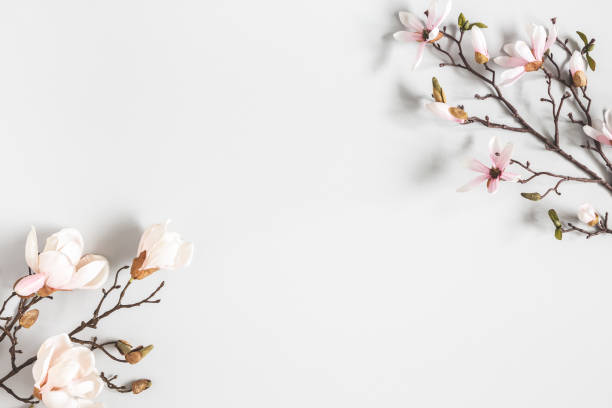 Flowers composition. Magnolia flowers on pastel gray background. Flat lay, top view, copy space stock photo