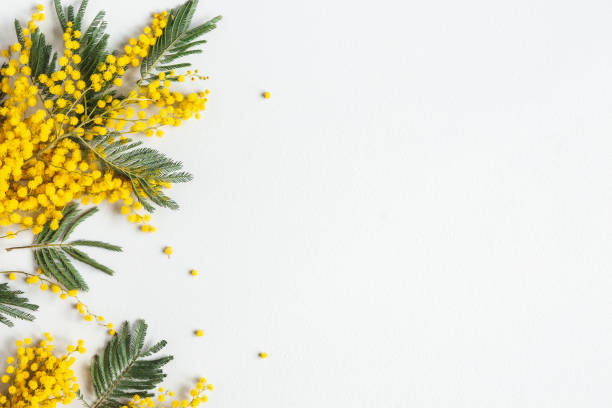 flowers composition. mimosa flowers on gray background. spring concept. flat lay, top view - immagini mimosa 8 marzo foto e immagini stock