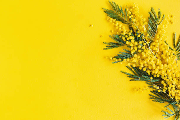 Flowers composition. Mimosa flowers on yellow background. Spring concept. Flat lay, top view stock photo