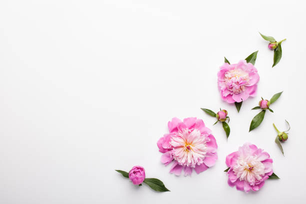 Flowers composition. Pattern made of pink peony flowers on white background. stock photo