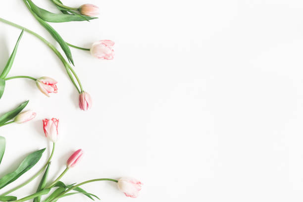 blumen-komposition. rosa tulpe blumen auf weißem hintergrund. valentinstag, muttertag tag konzept. flach legen, top aussicht, textfreiraum - tulpe stock-fotos und bilder