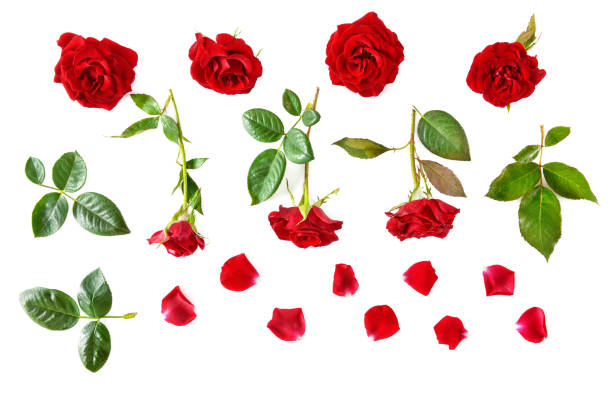 Flowers composition. Red roses isolated on white background. Flat lay, top view. stock photo