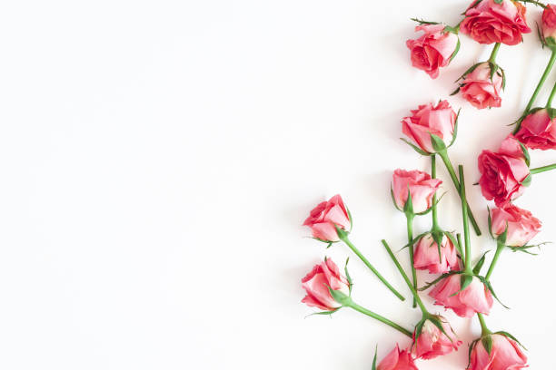 Flowers composition. Rose flowers on white background. Flat lay, top view, copy space stock photo