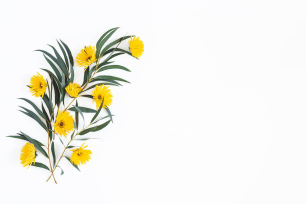 Flowers composition. Yellow flowers and eucalyptus leaves on white background. Spring, easter concept. Flat lay, top view, copy space stock photo