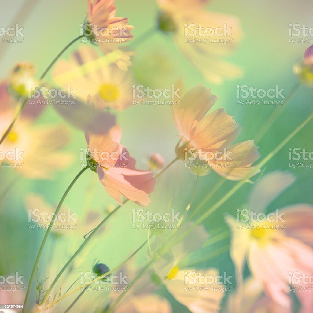 Flowers cosmos stock photo
