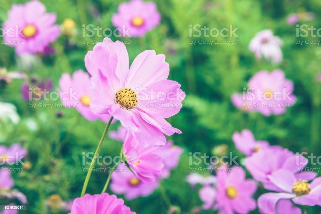 Blumenkosmos Rosa Und Weiße Farbe Im Garten Natur Bunt In Den ...