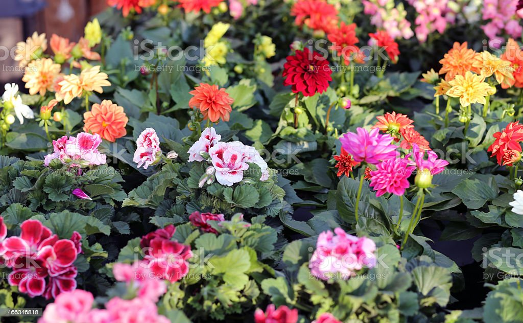 flowers dahlia for sale in florist's greenhouse in spring stock photo