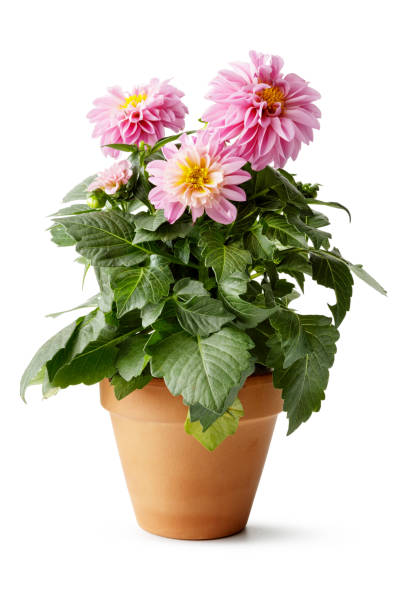 Flowers: Dahlia Isolated on White Background Flowers: Dahlia Isolated on White Background flower pot stock pictures, royalty-free photos & images