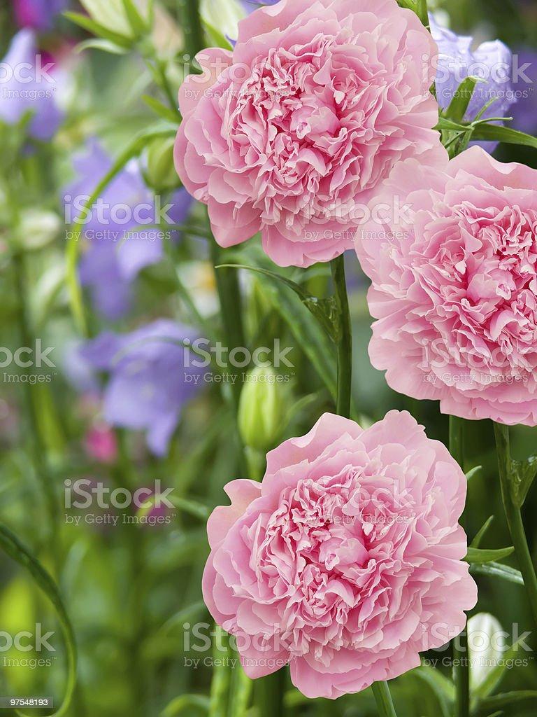 dahlias fleurs photo libre de droits