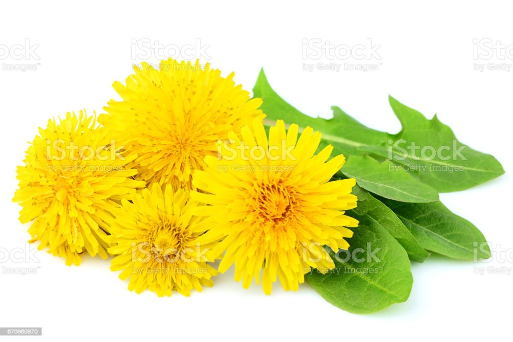 Flowers dandelions with leaves close-up isolated. stock photo