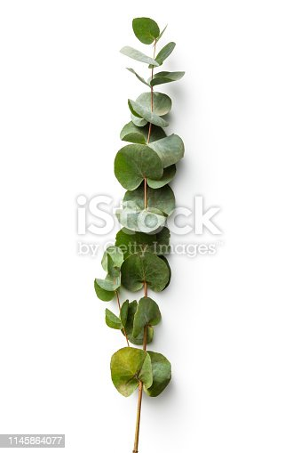 Flowers: Eucalyptus Isolated on White Background
