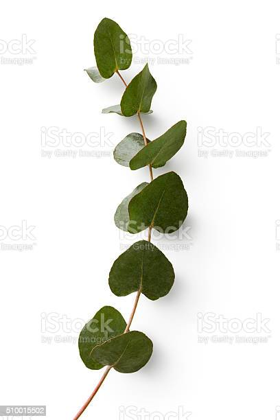 Flowers eucalyptus isolated on white background picture id510015502?b=1&k=6&m=510015502&s=612x612&h=1cftei7dtnklcrr0sfg7c9cmfn8hwjn8t49tged8ijm=