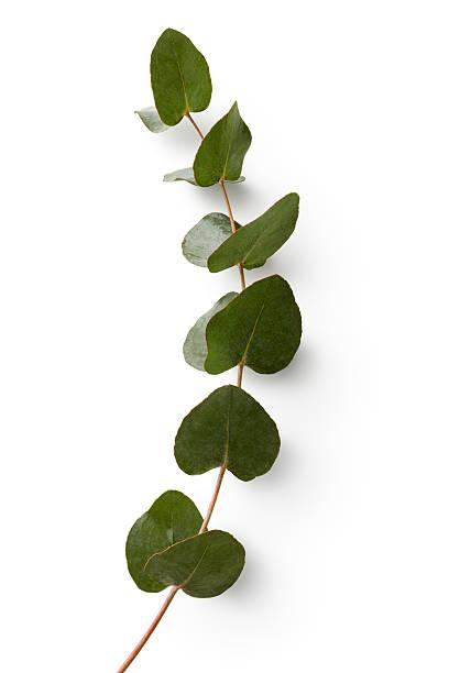 flowers: eucalyptus isolated on white background - eucalyptus tree stock photos and pictures