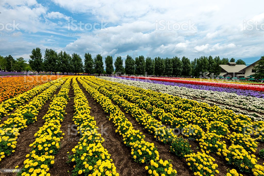 Flowers Fields Hokkaido Japan July 2015 Royalty Free Stock Photo
