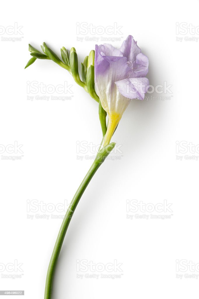 Flowers: Freesia圖像檔